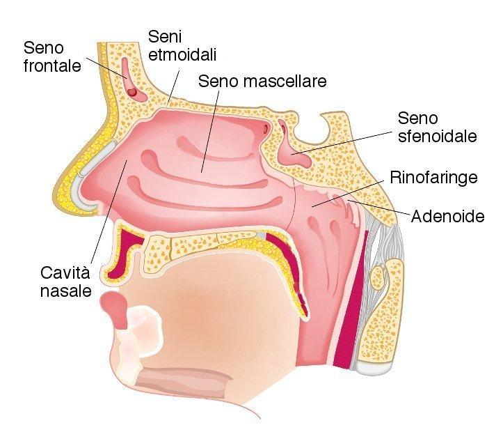 cavità nasali